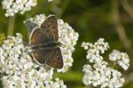 Sort ildfugl (Lycaena tityrus)